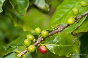 ogasawara_coffee